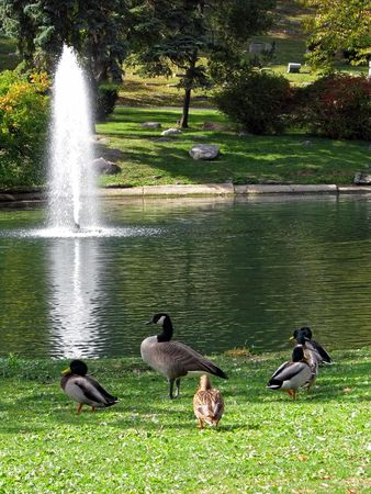 ducks at pond with water fountain cemetery Stock Photo