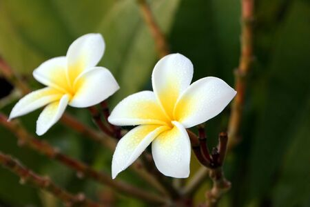 fragrant Plumeria flower blooming in yellow and white