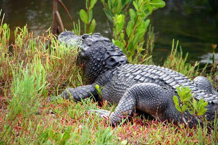 ding: Alligator Ding Darling Wildlife Refuge Sanibel Florida