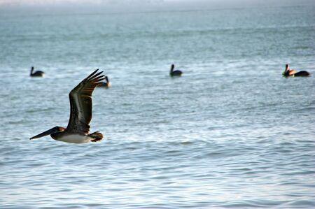 Pelican In Flight Afternoon Ocean Sanibel Florida Banco de Imagens