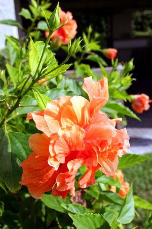 beautiful hibiscus flower blooming in vivid color Banco de Imagens