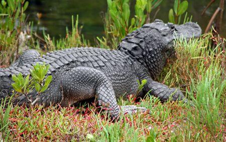 Alligator Ding Darling Wildlife Refuge Sanibel Florida photo
