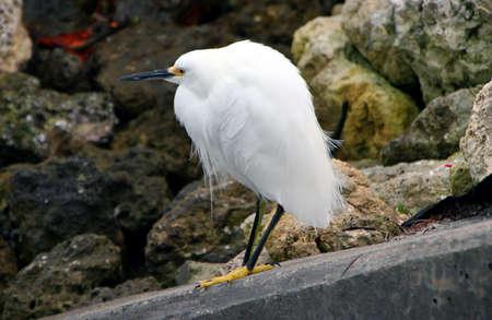 ardeidae: Snowy Egret Ding Darling Wildlife Refuge Sanibel Florida