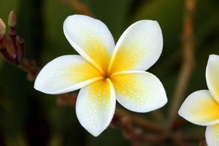 Fragrant Plumeria Flower Blooming In Yellow And White photo