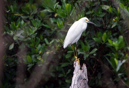ding: Snowy Egret Ding Darling Wildlife Refuge Sanibel Florida