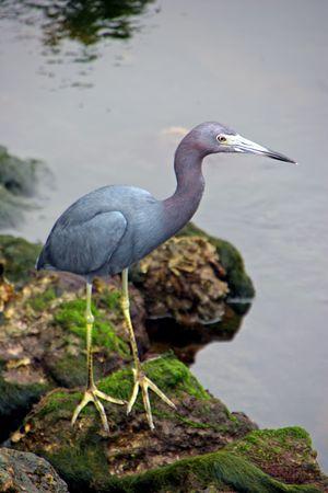 ciconiiformes: Little Blue Heron Ding Darling Wildlife Refuge Sanibel Florida