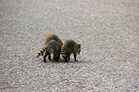 ding: Raccoon Ding Darling National Wildlife Refuge Sanibel Florida