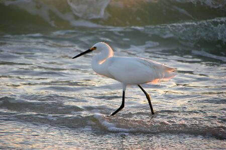 ardeidae: Snowy Egret Shorebird on evening beach Sanibel Florida Stock Photo