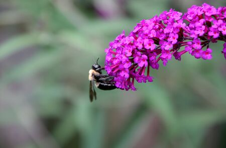 apocrita: single bee insect on colorful butterfly bush