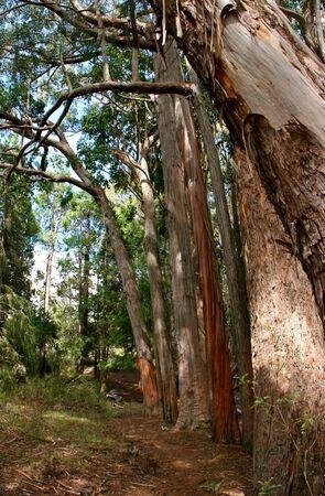 myrtales: Black Peppermint Eucalyptus Trees Haleakala National Park