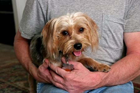 silky terrier: a small adorable silky terrier puppy dog