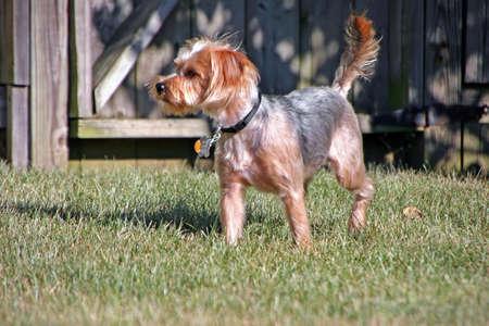 silky terrier: un cane cucciolo di piccoli adorabili silky terrier Archivio Fotografico