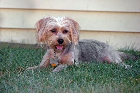 silky terrier: un cane cucciolo di piccoli adorabili silky terrier