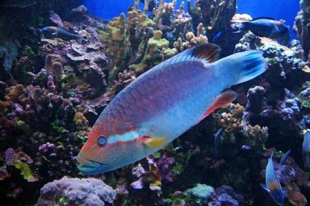 Colorful Tropical Pacific Fish in Aquarium Exhibit Stock Photo - 8253307