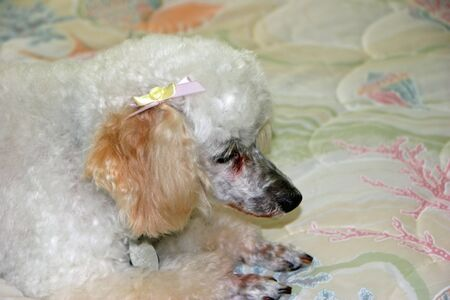 miniature poodle: cute miniature poodle with bow on ear