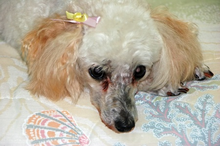 bedspread: cute miniature poodle with bow on ear