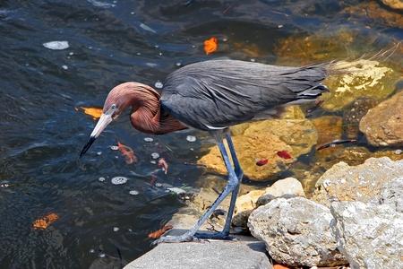 Reddish Egret 版權商用圖片