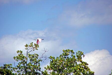 roseate: Roseate Spoonbill In Flight Ding Darling Wildlife Refuge Florida
