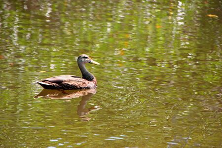 ding: Duck Swimming Ding Darling Wildlife Refuge Florida Stock Photo