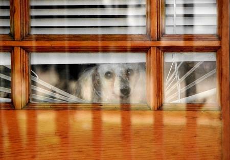 miniature poodle: Cute Miniature Poodle peeking out door blinds