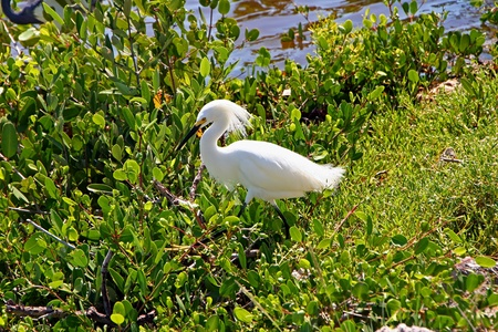 ding: Snowy Egret Ding Darling Wildlife Refuge Florida