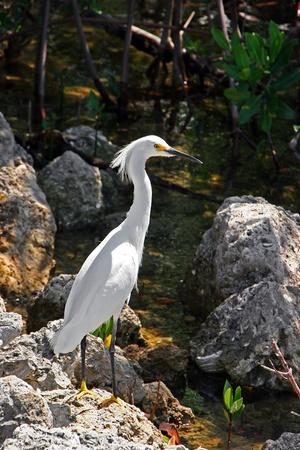 ding: Snowy Egret Ding Darling Wildlife Refuge Florida