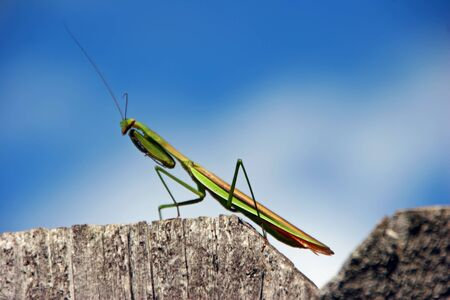 predatory insect: green predatory praying mantis insect on fence
