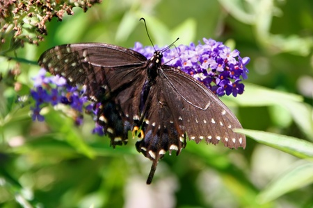 papilionidae: beautiful black swallowtail butterfly on butterfly bush