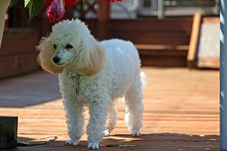 patio deck: Carino Miniature Poodle Standing On Deck Patio