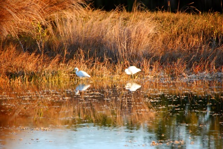undeveloped: Snowy Egrets Feeding at Dusk Wildlife Refuge Florida Stock Photo