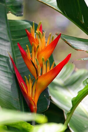 heliconia: beautiful Heliconia flower blooming in vivid colors