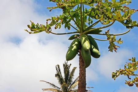 papaw: Papaya Growing On Tree Tropical Plantation Wailuku Hawaii Stock Photo