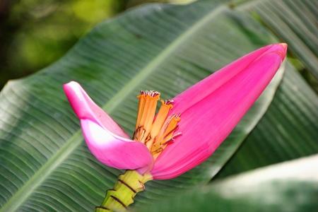musa: Beautiful Musa Ornata Blooming in Vivid Color Stock Photo