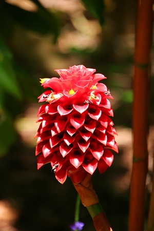 Indonesian Wax Ginger Flower Blooming in Vivid Color Stock Photo