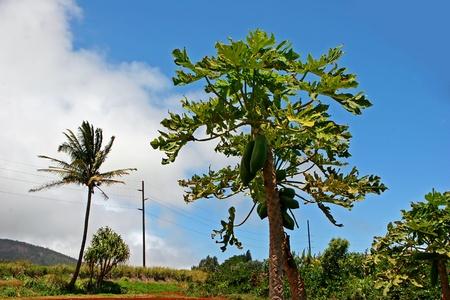 papaya tree: Papaya Growing On Tree Tropical Plantation Wailuku Hawaii Stock Photo