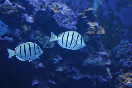 Colorful Tropical Pacific Fish in Aquarium Exhibit Stock Photo - 11741021