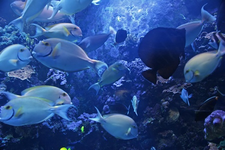 fish tank: Colorful Tropical Pacific Fish in Aquarium Exhibit