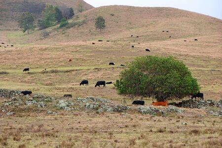 bovid: Tropical Mountain Landscape Cattle Maui Island Hawaii