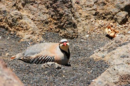 phasianidae: Chukar Partridge Bird of Haleakala National Park Maui