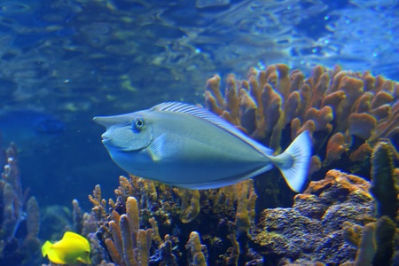 Colorful Tropical Hawaiian Pacific Fish in Aquarium Exhibit photo