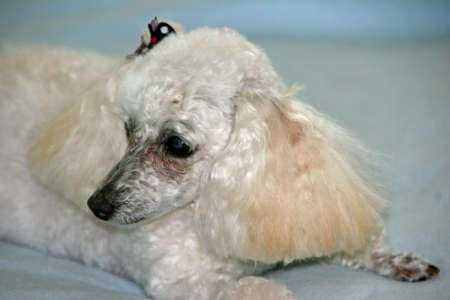 Cute Miniature Poodle with Bow on Ear photo
