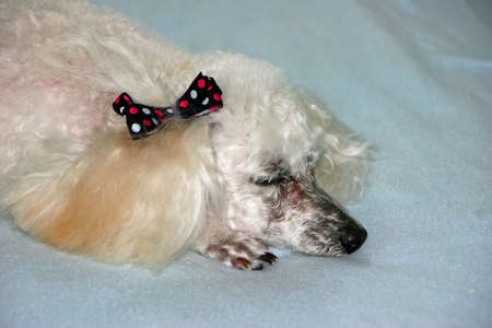 Cute Miniature Poodle with Bow on Ear