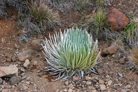 dormant: Silversword Plant Haleakala National Park Maui Hawaii