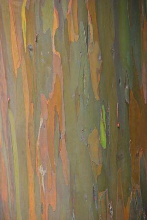 myrtaceae: Black Peppermint Eucalyptus Tree Haleakala National Park Stock Photo