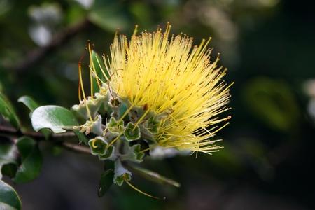 myrtales: Beautiful Hawaiian Yellow Ohia Lehua Flower in Bloom