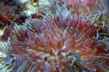 Colorful Tropical Pacific Sea Anemone in Aquarium Exhibit Stock Photo - 13883520