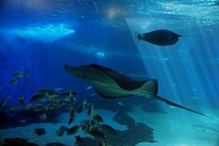 cartilaginous: Tropical Hawaiian Pacific Fish in Aquarium Exhibit