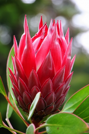 protea flower: Beautiful Protea Flower Blooming in Vivid Color