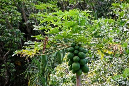 papaya tree: Papaya Fruit Tree ; Limahuli National Tropical Botanical Gardens Kauai Hawaii