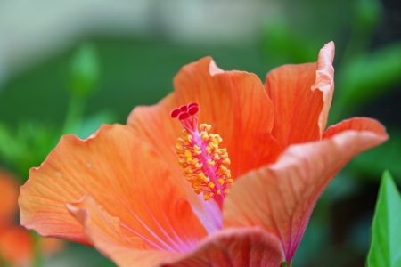 rosids: Beautiful Hibiscus Flower Blooming in Vivid Color Stock Photo